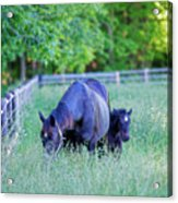 Mare And Foal In Shadows Acrylic Print