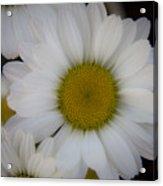 Marguerite Daisies Acrylic Print