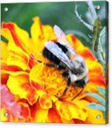 Marigold And The Bee Acrylic Print