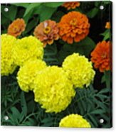 Marigold And Zinnias Acrylic Print