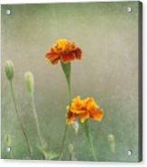 Marigold Fancy Acrylic Print