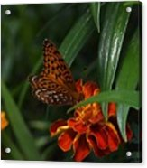 Marigold Grows Wings Acrylic Print