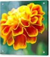 Marigold Acrylic Print