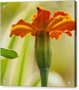 Marigold On A Lovely Spring Day Acrylic Print