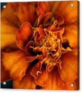 Marigold On Blue Acrylic Print
