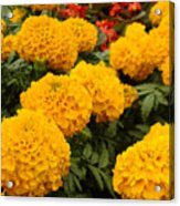 Marigold Party Acrylic Print