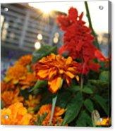 Marigold Sunshine Acrylic Print