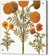 Marigolds, 1613 Acrylic Print