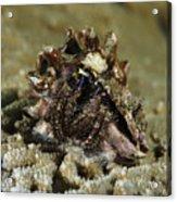 Marine Hermit Crab Acrylic Print