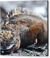 Marine Iguana  Acrylic Print