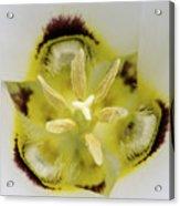 Mariposa Lily 3 Acrylic Print