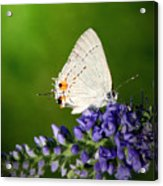 Marius Hairstreak Butterfly Acrylic Print