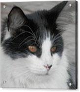 Marley Cat Meowning Acrylic Print