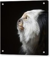 Marmoset Thoughts Acrylic Print by Stephanie Varner