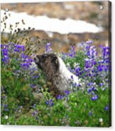 Marmot In The Wildflowers Acrylic Print