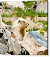 Marmot On Mount Massive Colorado Acrylic Print