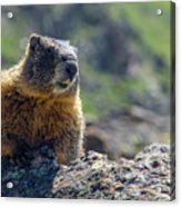 Marmot On The Ridge Acrylic Print