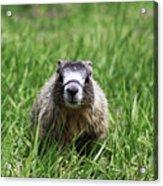 Marmot Pup Acrylic Print