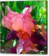 Maroon Iris Flower Acrylic Print
