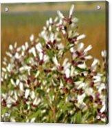 Marsh Blooms Acrylic Print