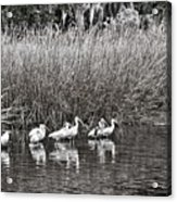 Marsh Hunters Acrylic Print