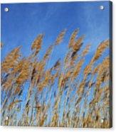Marsh In The Wind Acrylic Print