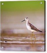 Marsh Sandpiper Tringa Stagnatilis Acrylic Print