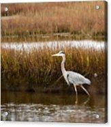 Marsh Wader Acrylic Print