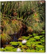 Marsh Waterlilies  Acrylic Print