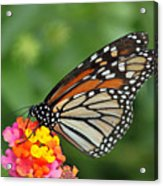 Marvelous Monarch  Acrylic Print