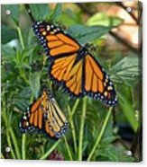 Marvelous Monarchs Acrylic Print