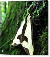 Maryland Clymene Moth Acrylic Print