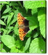 Maryland Eastern Comma Acrylic Print