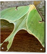 Maryland Luna Moth Acrylic Print