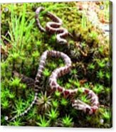 Maryland Milk Snakes Verticle Acrylic Print