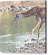 Masai Giraffe Drinking Acrylic Print
