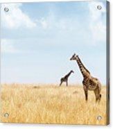 Masai Giraffe In Kenya Plains Acrylic Print