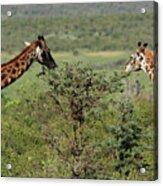 Masai Mara Giraffe Acrylic Print
