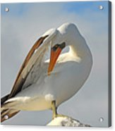 Masked Booby Acrylic Print