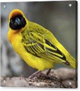 Masked Weaver Bird Facing Camera On Log Acrylic Print