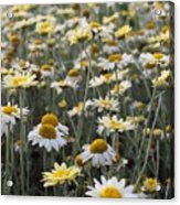 Mass Of Daisies Acrylic Print by Denice Breaux