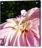 Master Gardener Pink Dahlia Flower Garden Art Prints Canvas Baslee Troutman Acrylic Print