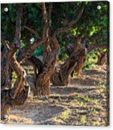 Mastic Tree   Acrylic Print
