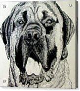 Mastiff Acrylic Print