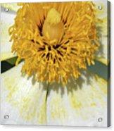 Matilija Poppy 2- Macro Acrylic Print