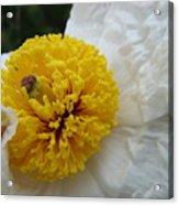 Matilija Poppy Acrylic Print