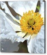 Matilija Poppy-macro Acrylic Print