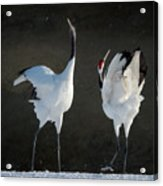 Mating Dance Acrylic Print