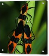 Mating Milkweed Bugs Acrylic Print by April Wietrecki Green