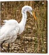 Mating Season - Everglades Acrylic Print
